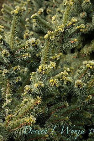 Picea pungens 'Mrs  Cesarini' blue spruce_0597