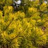 Pinus virginiana Wate's Golden_1314