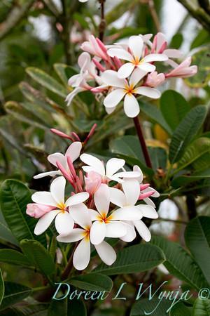 Plumeria Palms in Kona_059