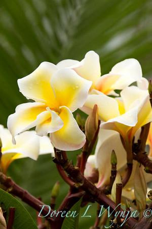 Plumeria Palms in Kona_026
