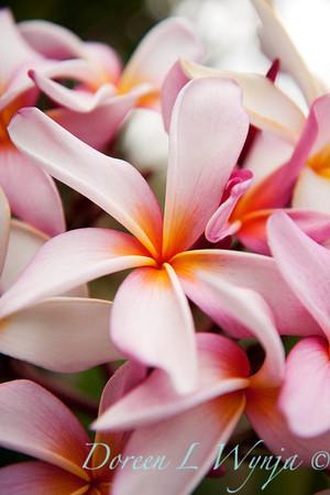 Plumeria Pink_004