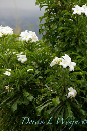 Plumeria Palms in Kona_024