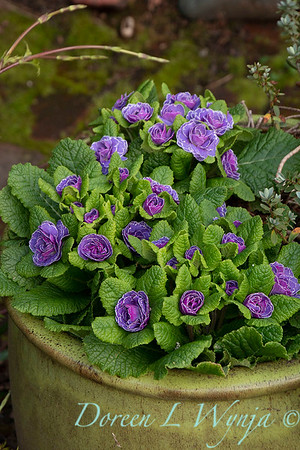 Primula vulgaris 'Kerbelpicotee' Belarina Amethyst Ice_0218