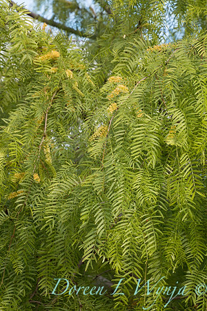 Prosopis chilensis flowering_1065