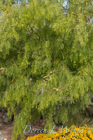 Prosopis chilensis flowering_1058