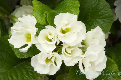 Primula white_3715