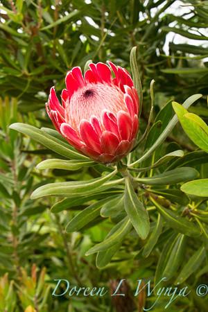 Protea cynaroides_031
