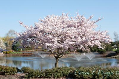 Prunus serrulata Mount Fuji_001