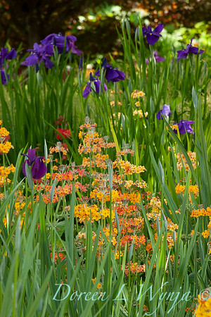 Primula in a stand of Iris_1673