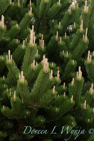 Pinus nigra 'Oregon Green'_0836
