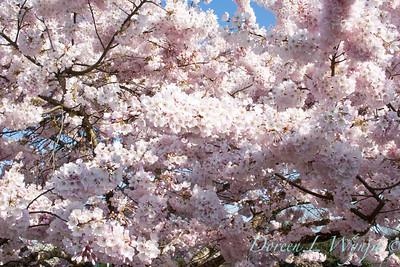 Prunus serrulata Mount Fuji_005