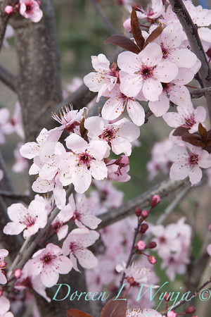 Prunus cerasifera Newport_001