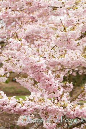Prunus Yedoensis Akabono_007