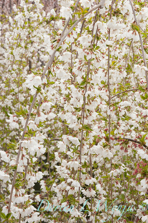6693 Prunus x 'Snowfozam'_029