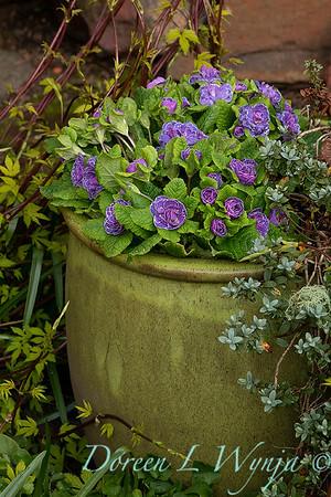 Primula vulgaris 'Kerbelpicotee' Belarina Amethyst Ice_0224