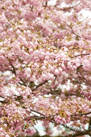 Prunus Yedoensis Akabono_005