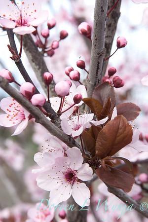Prunus cerasifera Newport_002