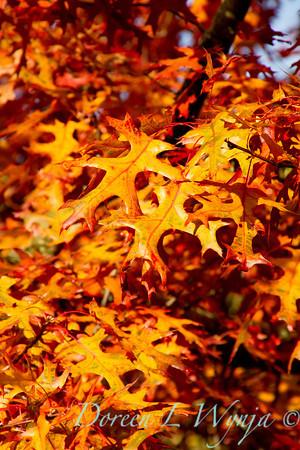 Quercus palustris_043