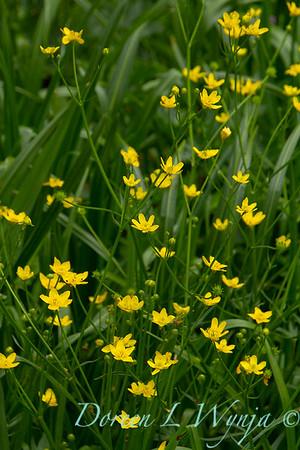 Ranunculus alismifolius_003