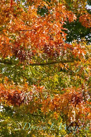Quercus palustris_8582