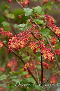 Ribes x gordonianum_1874