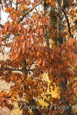Quercus rubra_003