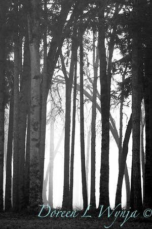 Oaks in the fog_7433