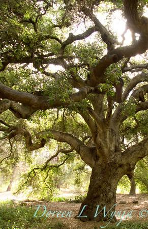 Quercus agrifolia var agrifolia_003