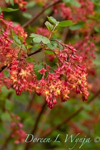 Ribes x gordonianum_1875FG