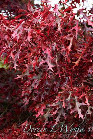 Quercus palustris_001