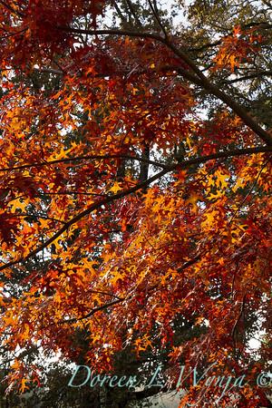 Quercus palustris_044