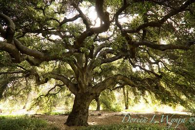 Quercus agrifolia var agrifolia_005