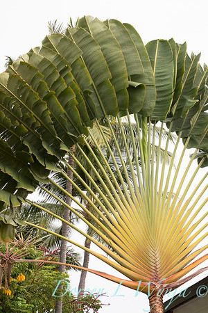 Ravenala madagascariensis, travler's palm fanned out
