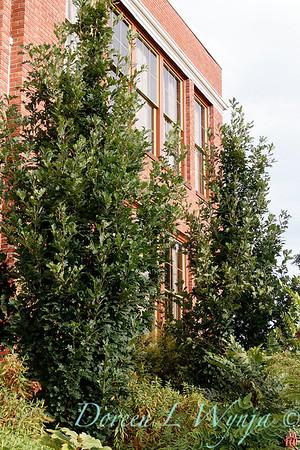 Quercus robur x alba 'Skinny Genes'_1811