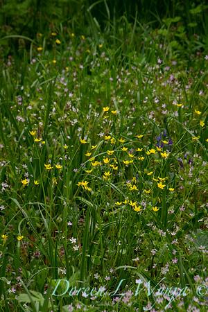 Ranunculus alismifolius_001