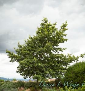 Quercus rubra_008