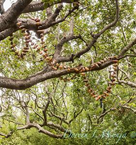 Quercus agrifolia with acorn mala_0634