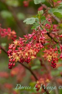 Ribes x gordonianum_1872