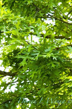 Quercus palustris_002