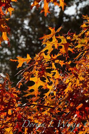 Quercus palustris_048