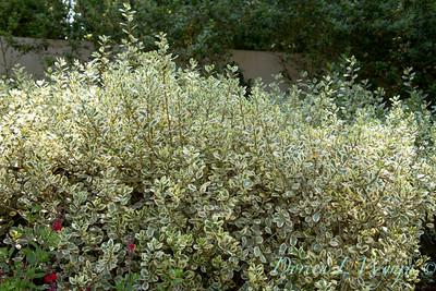 Rhamnus alaternus Variegata_011