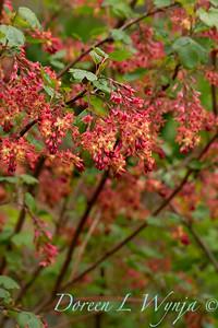 Ribes x gordonianum_1876