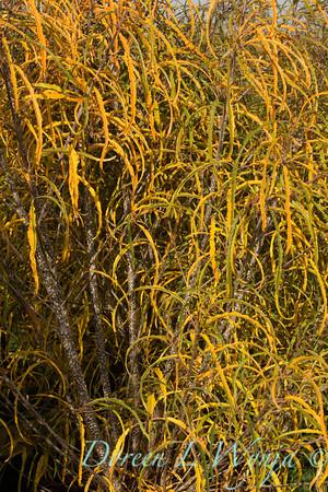 Rhamnus frangula Asplenifolia_001