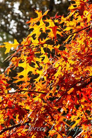 Quercus palustris_046