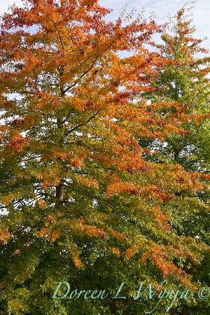 Quercus palustris_8577