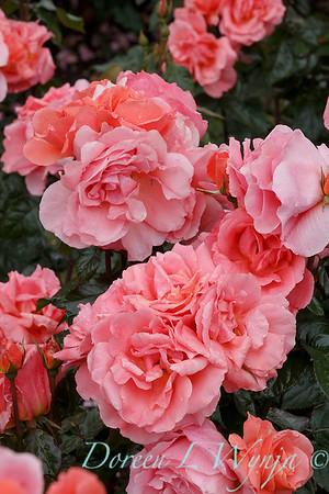 Rosa 'BAInce' - Sweet Fragrance_5101