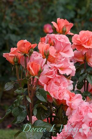 Rosa 'BAInce' - Sweet Fragrance_5106