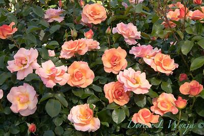 42052 Rosa 08 0091 016_5302