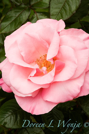 Rosa Dream Pink_002