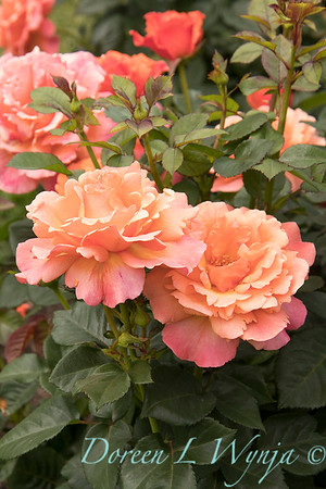 Rosa floribunda 'HARpageant' Easy Does It_0197